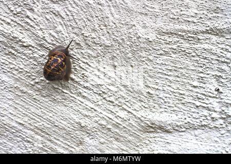 Garden snail climbing up rough white wall. - Stock Photo