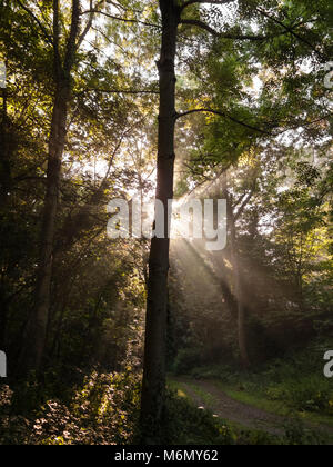 Early morning sunbeams through trees - Stock Photo