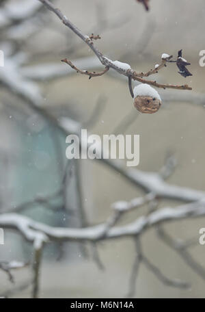 Ripe walnut on tree in winter time - Stock Photo