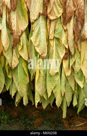Tobacco leaves hanging out to dry - Stock Photo