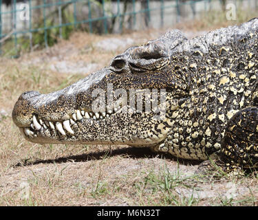 Large alligator appears to smile with it's huge teeth showing - Stock Photo