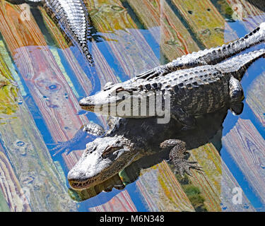 Alligator smiling as it sits on another's back at Gatorland - Stock Photo