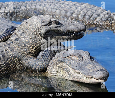 Alligators almost appear to smile as they pile on top of each other at Gatorland, Orlando - Stock Photo