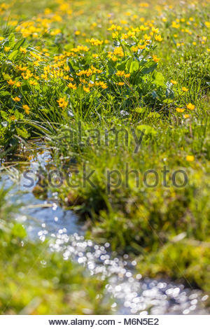 Marsh marigold flowers (Caltha palustris) and small mountain stream on the Alpe di Siusi, South Tyrol, Italy - Stock Photo