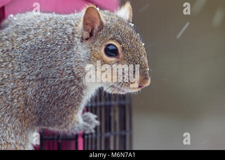 Cute chubby grey squirrel, isolated horizontal image in a minnesota snow storm on a bird feeder. Selective focus - Stock Photo