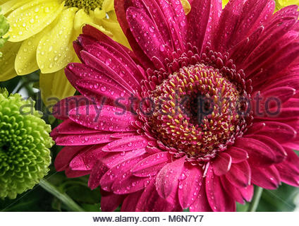 Close up of a Magenta flower with water droplets (Chrysanthemum) - Stock Photo