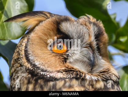 05 March 2018, Germany, Lebus: A long-eared owl (Asio otus) sits in a tree. The region around the river Oder is - Stock Photo