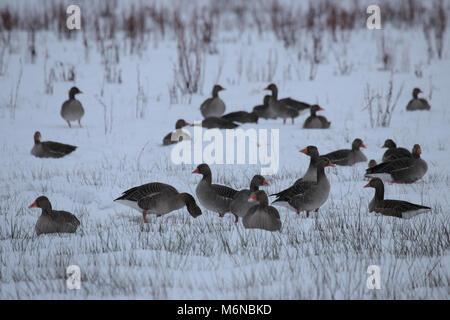 Muir Of Dinnet, Cairngorms National Park, Scotland, UK. 3rd March, 2018. Pinkfoot Geese, Anser brachyrhynchus Credit: - Stock Photo