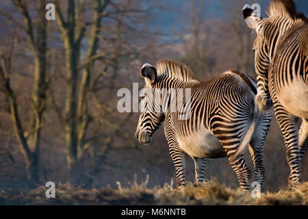 Landscape shot of two Grevy's zebra in spectacular early evening winter sunlight, both captured from rear perspective - Stock Photo