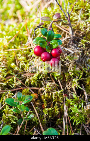 Red berries of Lingonberry or cowberry or partridgeberry branch in mossy Lithuanian forest - Stock Photo