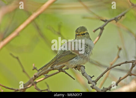 Pallas's Warbler (Phylloscopus proregulus) adult perched inside bush preening  Hebei, China       May - Stock Photo