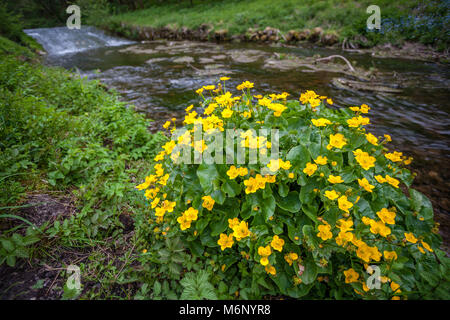 Marsh marigold or mollyblobs Caltha palustris growing beside the river in Bradford Dale near Youlgreave in the Derbyshire - Stock Photo