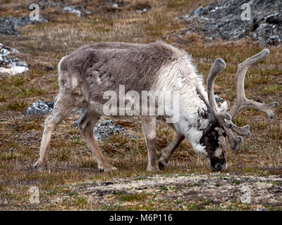 Wild native reindeer on the plateau of Alkhornet, Svalbard, Spitsbergen in the Arctic Circle, part of Norway.  Covered - Stock Photo