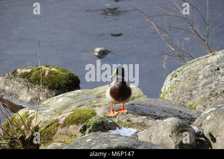 one duck standing on a rock by the side of a lake looking at the camera - Stock Photo