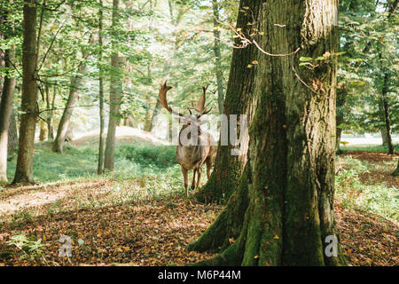 Deer with branched horns stands on a hill in an autumn forest among trees. - Stock Photo
