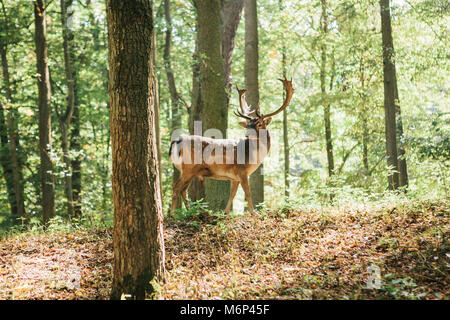 Beautiful deer with branched horns stands on a hill in an autumn forest among trees. - Stock Photo
