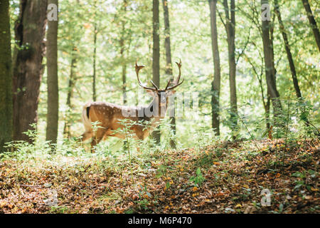 Beautiful deer with branched horns stands on a hill in an autumn forest among trees. Selective focus on grass, deer - Stock Photo