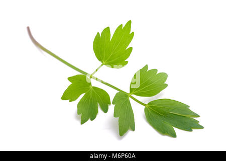 Fresh lovage twig (Levisticum officinale) isolated on white background - Stock Photo