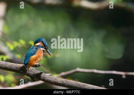 Side view close up of wild, UK kingfisher bird (Alcedo atthis), isolated, perched on branch, looking down into water. - Stock Photo