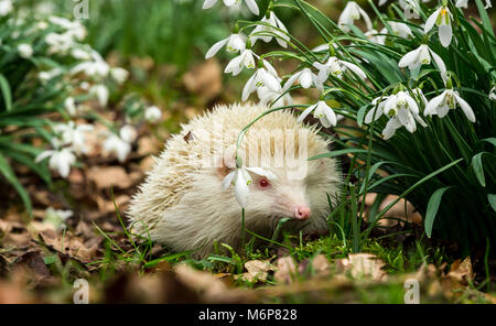 Wild, native European Albino hedgehog.  A True albino with pink eyes and nose in snowdrops.  Hedgehogs emerge from - Stock Photo
