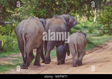 Elephant Family in Sri Lanka Game Park crossing street. elephant family on the move towards a water hole. - Stock Photo