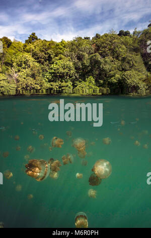 Jellyfish lake. Picture was taken in the Celebes sea, Indonesia - Stock Photo