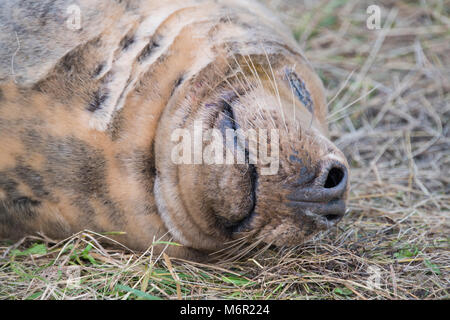 Donna Nook, Lincolnshire, UK – Nov 15: Close up on the contented smile of a grey seal, come ashore for birthing - Stock Photo