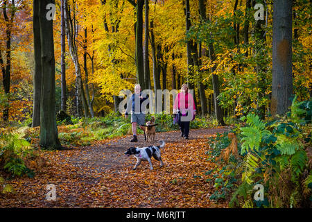 A couple walking dogs on a path through beech woodland in autumn. - Stock Photo