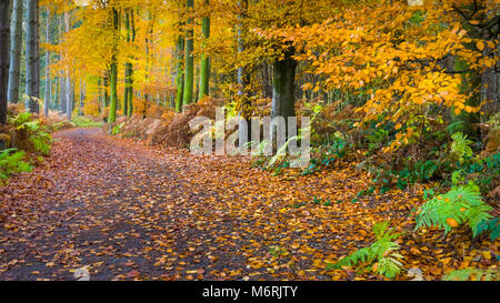 A path through beech woodland in Charnwood Forest during autumn. - Stock Photo