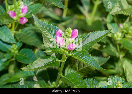 Pink turtlehead, Lila sköldpaddsört (Pink turtlehead) - Stock Photo