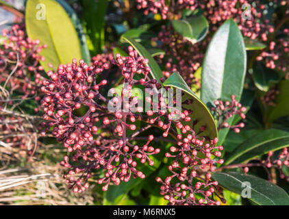 Skimmia japonica 'Rubella' shrub (Japanese skimmia) growing in Winter in the UK. - Stock Photo