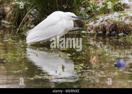 Little Egret bird (Egretta garzetta) standing in water waiting for fish on a very cold Winter day in West Sussex, - Stock Photo