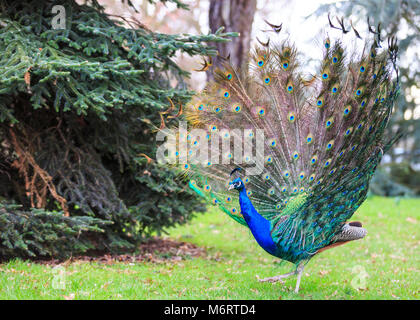 Peacock, male peafowl () spreading its wings and opening its feathers for a full feather display in parkland - Stock Photo
