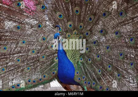 Peacock Showing plumage, Colorful awesome animal bird - Stock Photo
