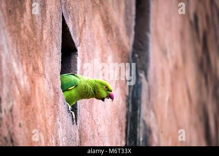 Rose-Ringed Parakeet or Psittacula Krameri - Stock Photo