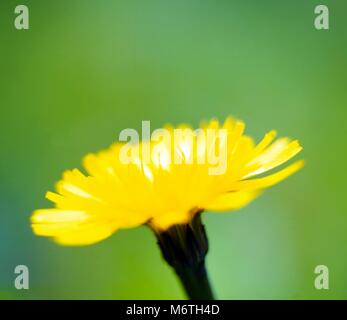 A close up view of a single yellow flower against a plain background. - Stock Photo