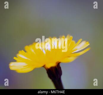 A close up view of a single yellow flower against a blurred background. - Stock Photo