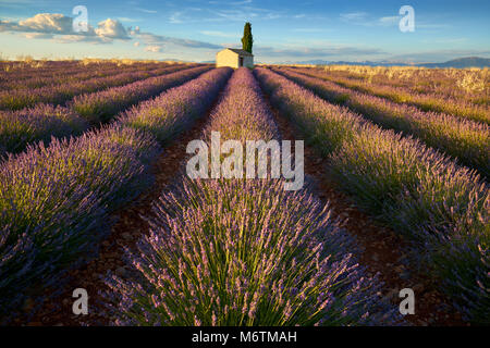 Lavender fields of Valensole with cypress tree and house in Summer at sunset. Alpes de Haute Provence, PACA Region, - Stock Photo