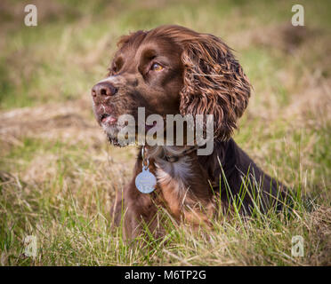 Headshot of a pedigree Working Cocker Spaniel enjoying a walk on a field on a sunny day breaks for a rest in the - Stock Photo