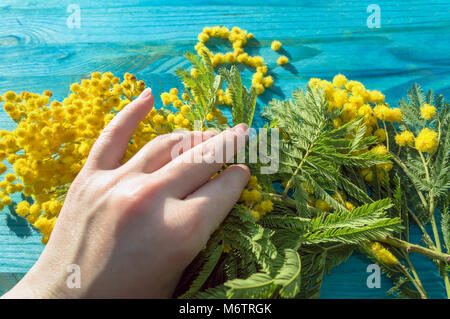 womans hand holding branch of mimosa flowers with blue wooden background - Stock Photo