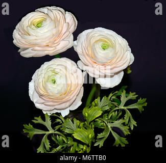 Beautiful bouquet of pale-pink ranunculus flowers with green leaves close up,  isolated on black background - elegant - Stock Photo