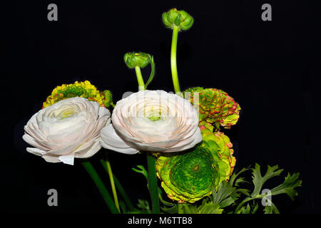 Bouquet of gentle ranunculus asiaticus flowers pale-pink and varicoloured with green heart close up, isolated on - Stock Photo