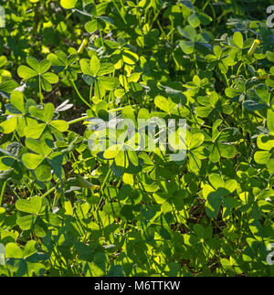 Green lush clover in the spring Forest -Top View. Conceptual Spring Background - Stock Photo
