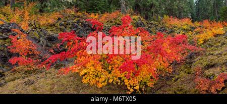 Vine Maple, Acer circinatum, Lava Rock, McKenzie River National Recreation Trail, Willamette National Forest, Oregon - Stock Photo