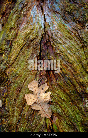 White oak leaf comes to rest at base of old oak tree - Stock Photo