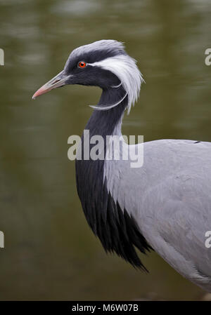 Demoiselle Crane (anthropoides virgo) - Stock Photo