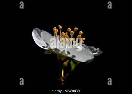 Beautiful isolated white almond flower at black background - Stock Photo