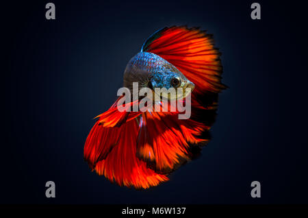 Fish bite  fighting fish Red Dark blue background - Stock Photo
