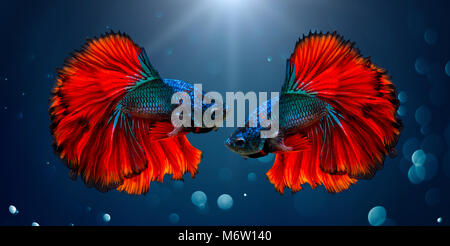 Fighting fish Red blue Light background with bokeh - Stock Photo