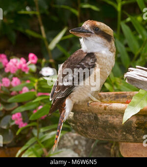 Kookaburra, Australian Laughing jackass, Dacelo novaeguineae at a garden bird bath with background of green foliage - Stock Photo